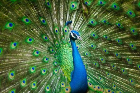 भारत का राष्ट्रीय पक्षी - NATIONAL BIRD IF INDIA
